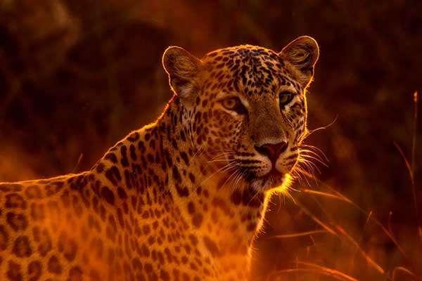 Leopard im Wilpattu Nationalpark