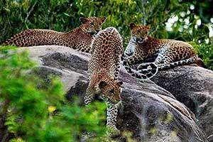 Leopardenfamilie